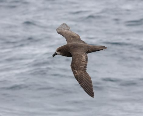 Grey-faced petrel. In flight, dorsal. Off Wollongong, New South Wales, Australia, December 2006. Image © Brook Whylie by Brook Whylie http://www.sossa-international.org