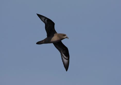Providence petrel. Adult in flight. At sea off Wollongong, New South Wales, Australia, April 2009. Image © Brook Whylie by Brook Whylie http://www.sossa-international.org