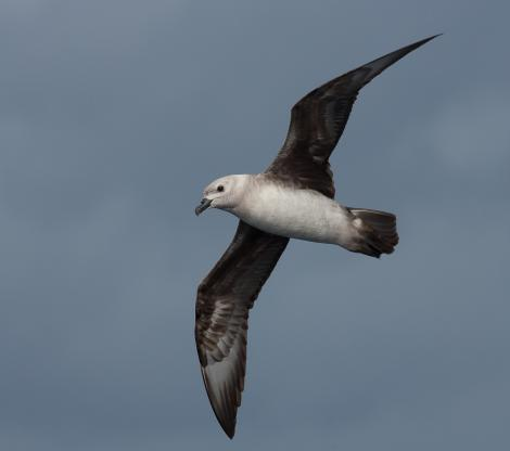 Kermadec petrel. Pale morph adult, ventral view, in flight. At sea off Wollongong, New South Wales, Australia, March 2008. Image © Brook Whylie by Brook Whylie www.sossa-international.org