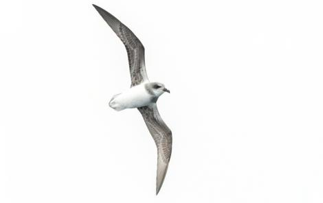 Soft-plumaged petrel. Ventral view of bird in flight. At sea off Otago Peninsula, March 2017. Image © Matthias Dehling by Matthias Dehling