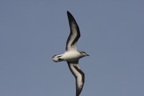 Black-winged petrel. Adult in flight, showing underwing. Raoul Island, Kermadec Islands. Image © Gareth Rapley by Gareth Rapley