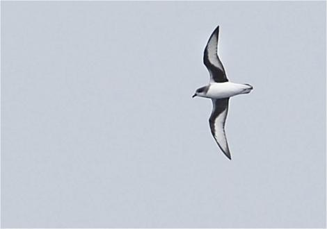 Chatham petrel. Adult in flight at sea. 200 km east of Hawke Bay, January 2016. Image © Kirk Zufelt by Kirk Zufelt. Expedition organised by Bob Flood, Peter Harrison, Kirk Zufelt et al.
