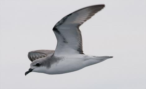 Cook's petrel. Adult in flight showing head, neck and underwing. Near Little Barrier Island, Hauraki Gulf, January 2012. Image © Philip Griffin by Philip Griffin