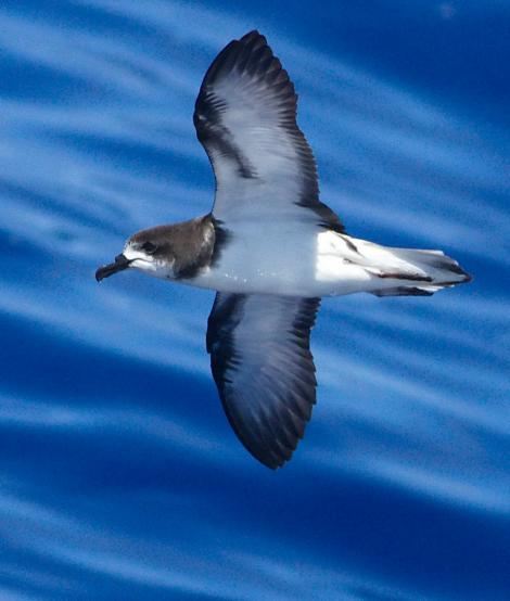 Collared petrel. Adult. At sea off New Caledonia, April 2012. Image © Peter Harrison by Peter Harrison