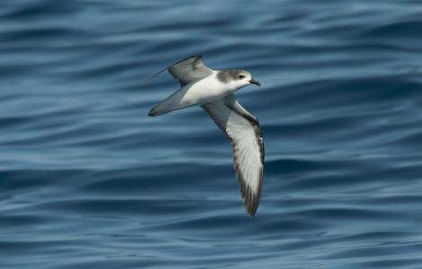 Pycroft's petrel. Flying bird at sea, presumed to be this species. Off Whitianga, January 2012. Image © Philip Griffin by Philip Griffin
