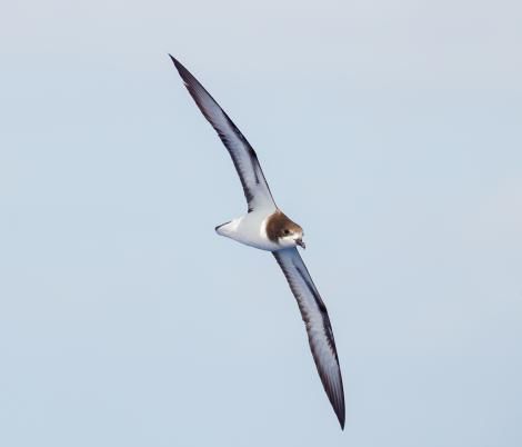 Gould's petrel. Adult at sea. At sea off Port Stephens, New South Wales, Australia, February 2016. Image © Brook Whylie by Brook Whylie www.sossa-international.org