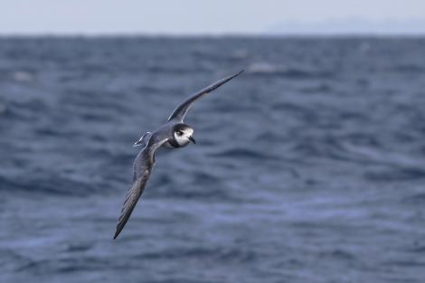 Blue petrel. Adult in flight. Off Tutukaka, July 2018. Image © Oscar Thomas by Oscar Thomas