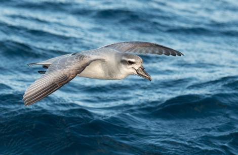 Broad-billed prion. Adult in flight. Off Poor Knights Islands at sea, July 2018. Image © Les Feasey by Les Feasey
