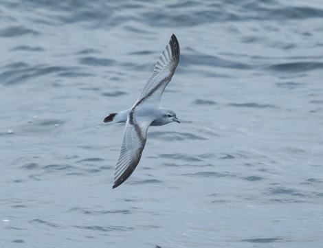 Fulmar prion. Adult in flight. At sea south of The Pyramid, Chatham Islands, April 2019. Image © Tubenoses Project Hadoram Shirihai by Hadoram Shirihai