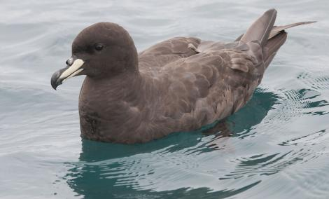 Westland petrel. Adult on water. Kaikoura pelagic, January 2013. Image © Philip Griffin by Philip Griffin