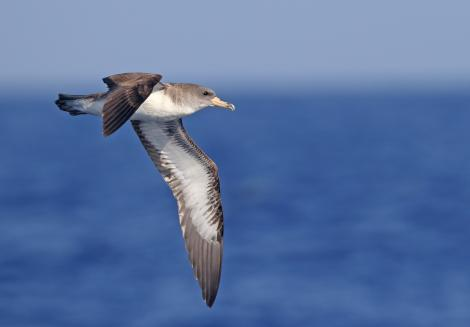 Cory's shearwater. Adult in flight. Banco de Concepcion, off Lanzarote, Canary Islands, September 2016. Image © Juan Sagardia by Juan Sagardia