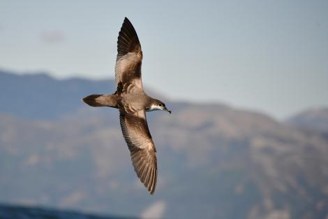 Buller's shearwater. Dorsal view of adult flying. Kaikoura coast, January 2013. Image © Brian Anderson by Brian Anderson Brian Anderson, http://www.baphotographic.co.uk