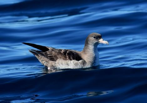 Pink-footed shearwater. Adult. Kaikoura pelagic, February 2018. Image © Matt Anderson by Matt Anderson