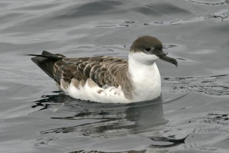 Great shearwater. Adult (third New Zealand record). Kaikoura pelagic, February 2010. Image © Gary Melville by Gary Melville Courtesy of Gary Melville, Albatross Encounter (uploaded by ONSZ RAC Secretary)