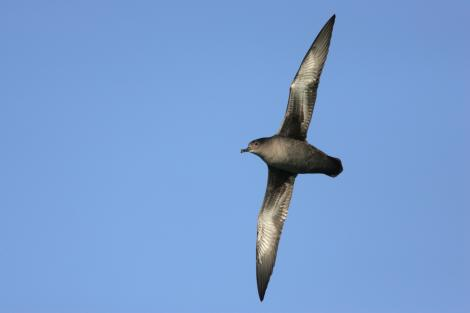 Sooty shearwater. Ventral view of adult in flight. At sea off Banks Peninsula, April 2009. Image © David Boyle by David Boyle