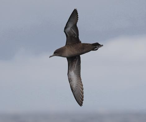 Short-tailed shearwater. Ventral view of adult in flight. At sea, Off Wollongong, New South Wales, Australia, October 2009. Image © Brook Whylie by Brook Whylie http://www.sossa-international.org