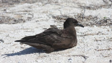 Christmas Island shearwater. Adult. Rawaki, Phoenix Islands, June 2008. Image © Mike Thorsen by Mike Thorsen