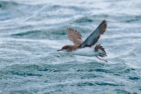 Fluttering shearwater. Adult in flight. Hauraki Gulf, November 2011. Image © Neil Fitzgerald by Neil Fitzgerald www.neilfitzgeraldphoto.co.nz