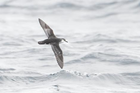 Little shearwater. Adult in flight (subspecies haurakiensis). Outer Hauraki Gulf, October 2018. Image © Edin Whitehead by Edin Whitehead Edin Whitehead www.edinz.com