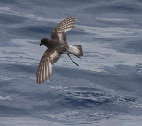 Grey-backed storm petrel. Dorsal view of adult in flight. At sea, off Eaglehawk Neck, Tasmania, Australia, February 2010. Image © Brook Whylie by Brook Whylie http://www.sossa-international.org