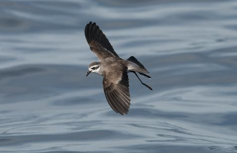 White-faced storm petrel. Dorsal view of adult in flight. Hauraki Gulf, January 2012. Image © Philip Griffin by Philip Griffin