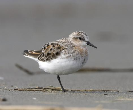 Red-necked stint. Adult entering breeding plumage. Manawatu River estuary, March 2011. Image © Phil Battley by Phil Battley