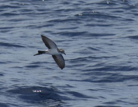 Kermadec storm petrel. Adult in flight. Kermadec Islands. Image © Gareth Rapley by Gareth Rapley