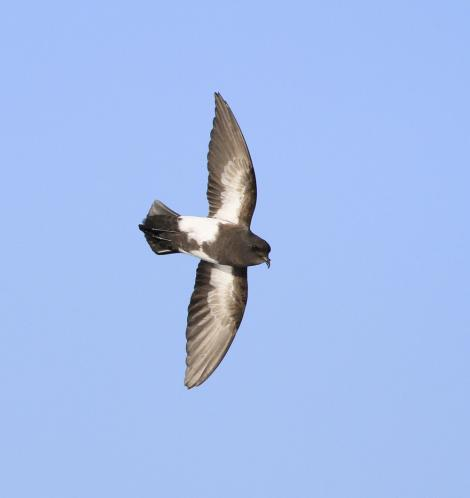 Black-bellied storm petrel. Adult in flight, ventral. At sea off Campbell Island, April 2013. Image © Phil Battley by Phil Battley