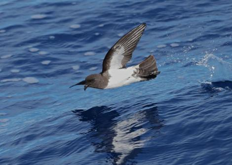 White-bellied storm petrel. Adult at sea. Near Ball's Pyramid, Lord Howe Island, April 2019. Image © Glenn Pure 2019 birdlifephotography.org.au by Glenn Pure