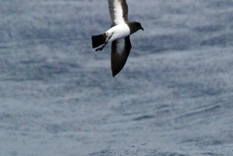 White-bellied storm petrel. Ventral view of typical adult in flight. North of Norfolk Island, March 2009. Image © Nigel Voaden by Nigel Voaden http://www.flickr.com/photos/nvoaden/
