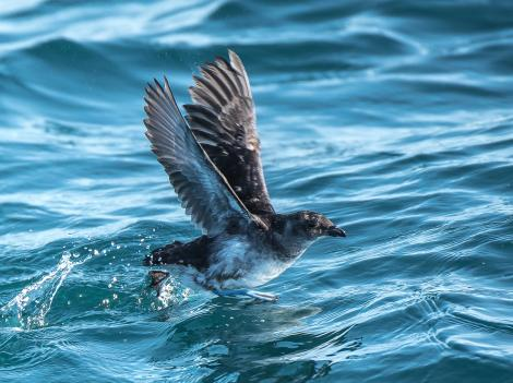 Common diving petrel. Northern diving petrel rising from water, showing underwing. Whangaroa pelagic, September 2014. Image © Les Feasey by Les Feasey