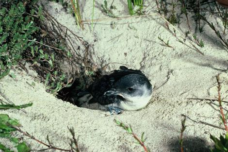 South Georgian diving petrel. Adult at burrow entrance. Codfish Island, November 1978. Image © Department of Conservation (image ref: 10033153) by Peter Harper Courtesy of Department of Conservation