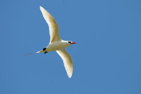 Red-tailed tropicbird. Ventral view of adult in flight. Hawai`i - Island of Kaua`i, July 2012. Image © Jim Denny by Jim Denny http://www.kauaibirds.comhttp://www.flickr.com/photos/hawaiibirds/