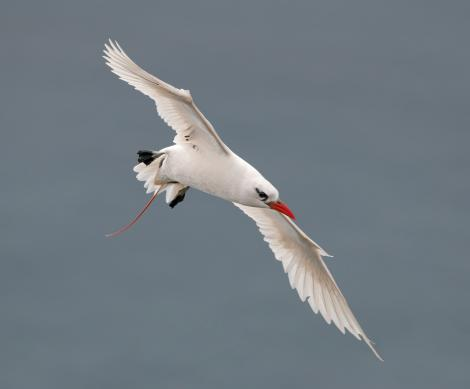 Red-tailed tropicbird. Adult in flight. Lord Howe Island, April 2019. Image © Glenn Pure 2019 birdlifephotography.org.au by Glenn Pure
