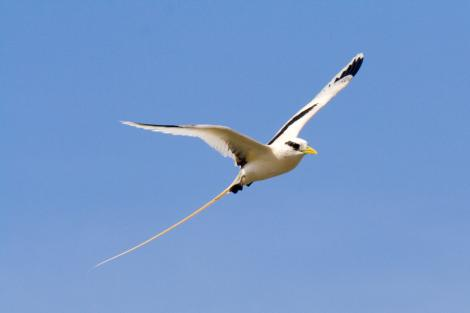 White-tailed tropicbird. Adult in flight. Ile Europa, Mozambique Channel, November 2008. Image © James Russell by James Russell
