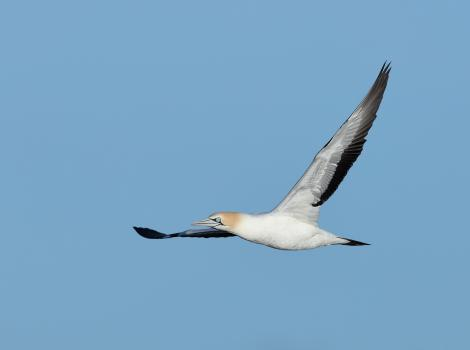 Cape gannet. Adult in flight. At sea off Cape Point, South Africa, August 2017. Image © Ian Wilson 2017 birdlifephotography.org.au by Ian Wilson