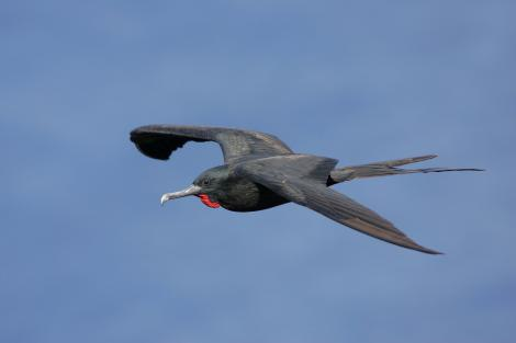 Great frigatebird. Adult male in flight. Christmas Island, Indian Ocean, January 2009. Image © David Boyle by David Boyle