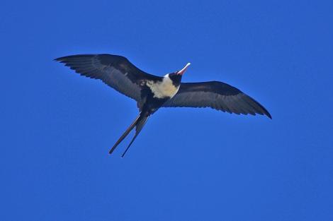 Lesser frigatebird. Adult female. Treasure Island, Fiji. Image © Noel Knight by Noel Knight
