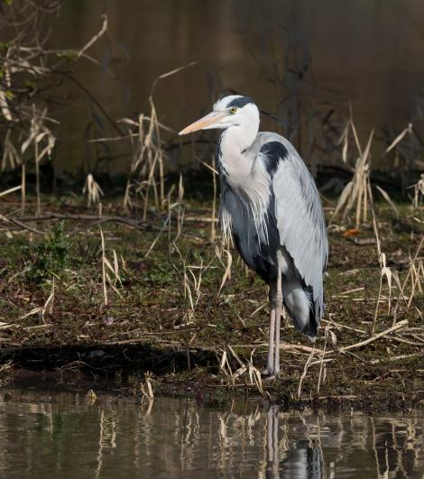 Grey heron. Adult in breeding plumage. Tokyo, Japan, February 2013. Image © Sonja Ross by Sonja Ross