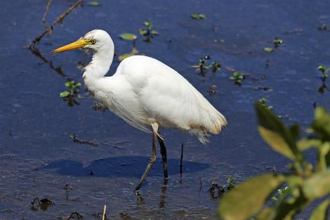 Plumed egret. Adult wading. Kakadu National Park, September 2015. Image © Duncan Watson by Duncan Watson
