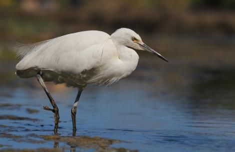 Little egret. Adult foraging. Haumoana Lagoon, Hawke's Bay, October 2011. Image © Adam Clarke by Adam Clarke