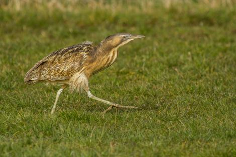 Australasian bittern. Adult walking through pasture. Eastern Southland, August 2015. Image © Glenda Rees by Glenda Rees (https://www.flickr.com/photos/nzsamphotofanatic/ https://www.facebook.com/NZBANP)