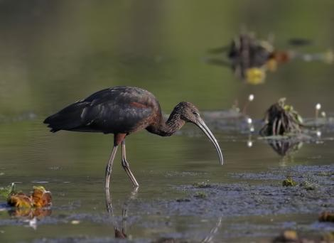 Glossy ibis. Adult (non-breeding). Yellow Waters, Kakadu, Northern Territory, August 2018. Image © Doug Castle 2019 birdlifephotography.org.au by Doug Castle