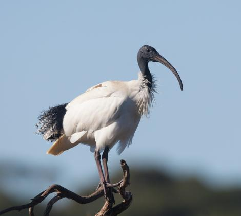 White ibis. Adult. Coolart Wetlands and Homestead Reserve, Victoria, July 2011. Image © Sonja Ross 2015 birdlifephotography.org.au by Sonja Ross