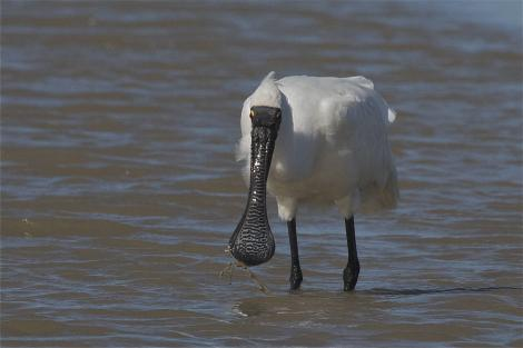 Royal spoonbill. Non-breeding adult feeding. Ashley Estuary Canterbury, March 2014. Image © Steve Attwood by Steve Attwood http://www.flickr.com/photos/stevex2/