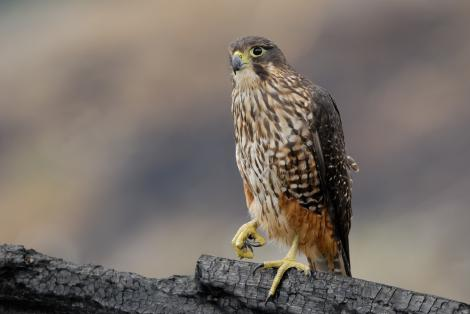 New Zealand falcon. Adult. East Otago, January 2011. Image © Craig McKenzie by Craig McKenzie