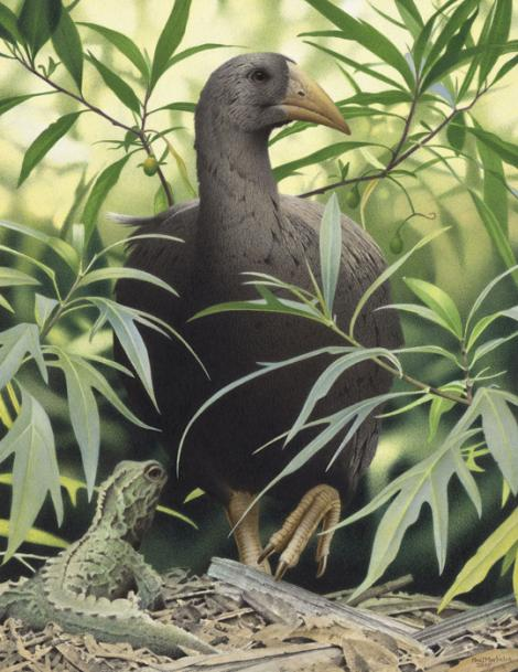 North Island adzebill. North Island adzebill (Aptornis otidiformis). Image 2006-0010-1/40 from the series 'Extinct birds of New Zealand'. Masterton. Image © Purchased 2006. © Te Papa by Paul Martinson See Te Papa website: https://collections.tepapa.govt.nz/object/710942