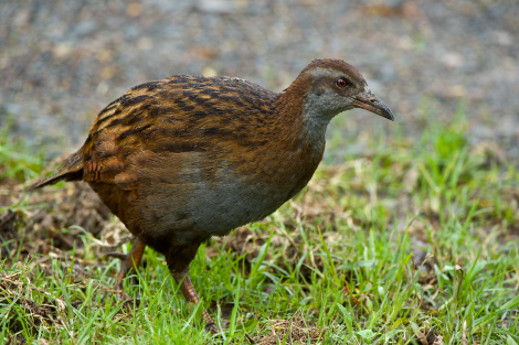 Weka. Adult North Island weka. Russell, July 2014. Image © Les Feasey by Les Feasey