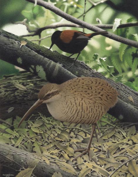Snipe-rail. Snipe rail (Capellirallus karamu). Image 2006-0010-1/42 from the series 'Extinct birds of New Zealand'. Masterton. Image © Purchased 2006. © Te Papa by Paul Martinson See Te Papa website: http://collections.tepapa.govt.nz/objectdetails.aspx?irn=710944&term=snipe-rail