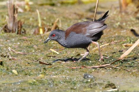 Spotless crake. Adult feeding. Pauatahanui Inlet, February 2019. Image © Paul Le Roy by Paul Le Roy